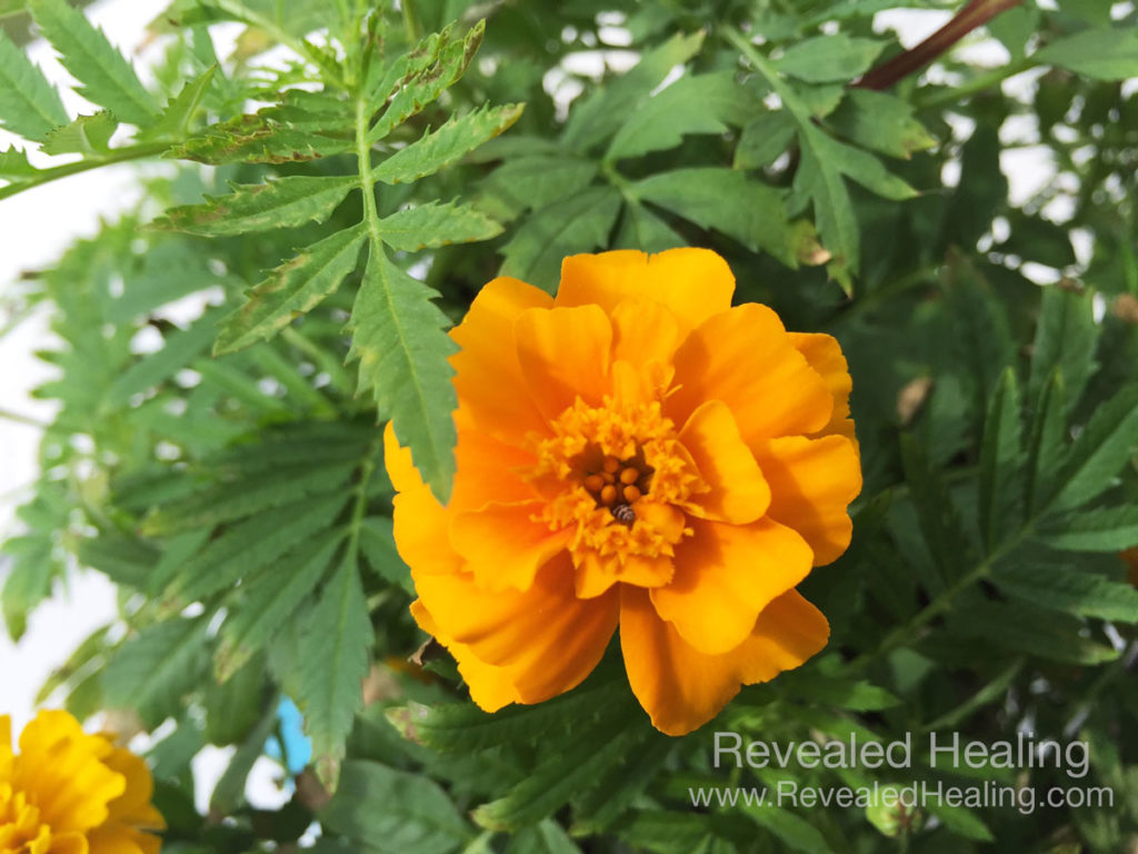 Catastrophizing the Marigold